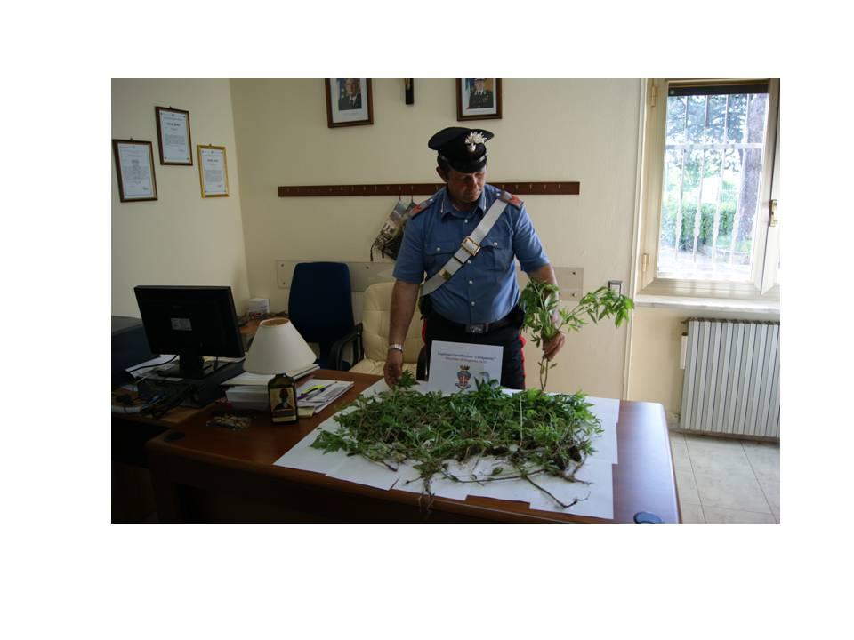 Dugenta, i Carabinieri scoprono 112 piante di marijuana in un'area demaniale