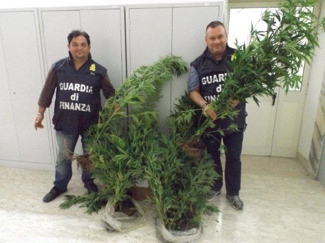 Sequestrata piantagione di marijuana a San Giorgio del Sannio
