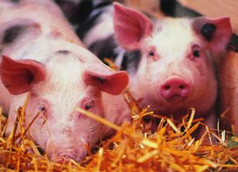 Convegno sulla sanità animale, da dieci anni nella nostra provincia non si riscontrano focolai della malattia vescicolare suina