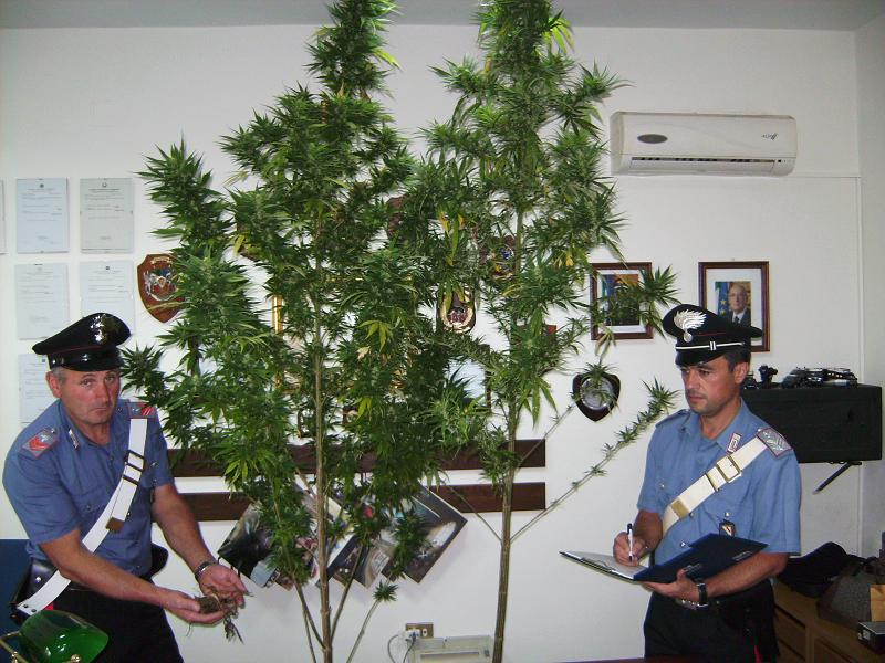 Coltiva marijuana in un casolare. Arrestato macellaio di San Salvatore Telesino