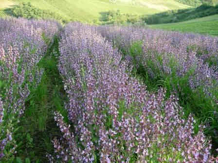 Riconvertire i terreni tabacchicoli oggi è possibile grazie all'aiuto del progetto 'Ripot' e delle piante officinali