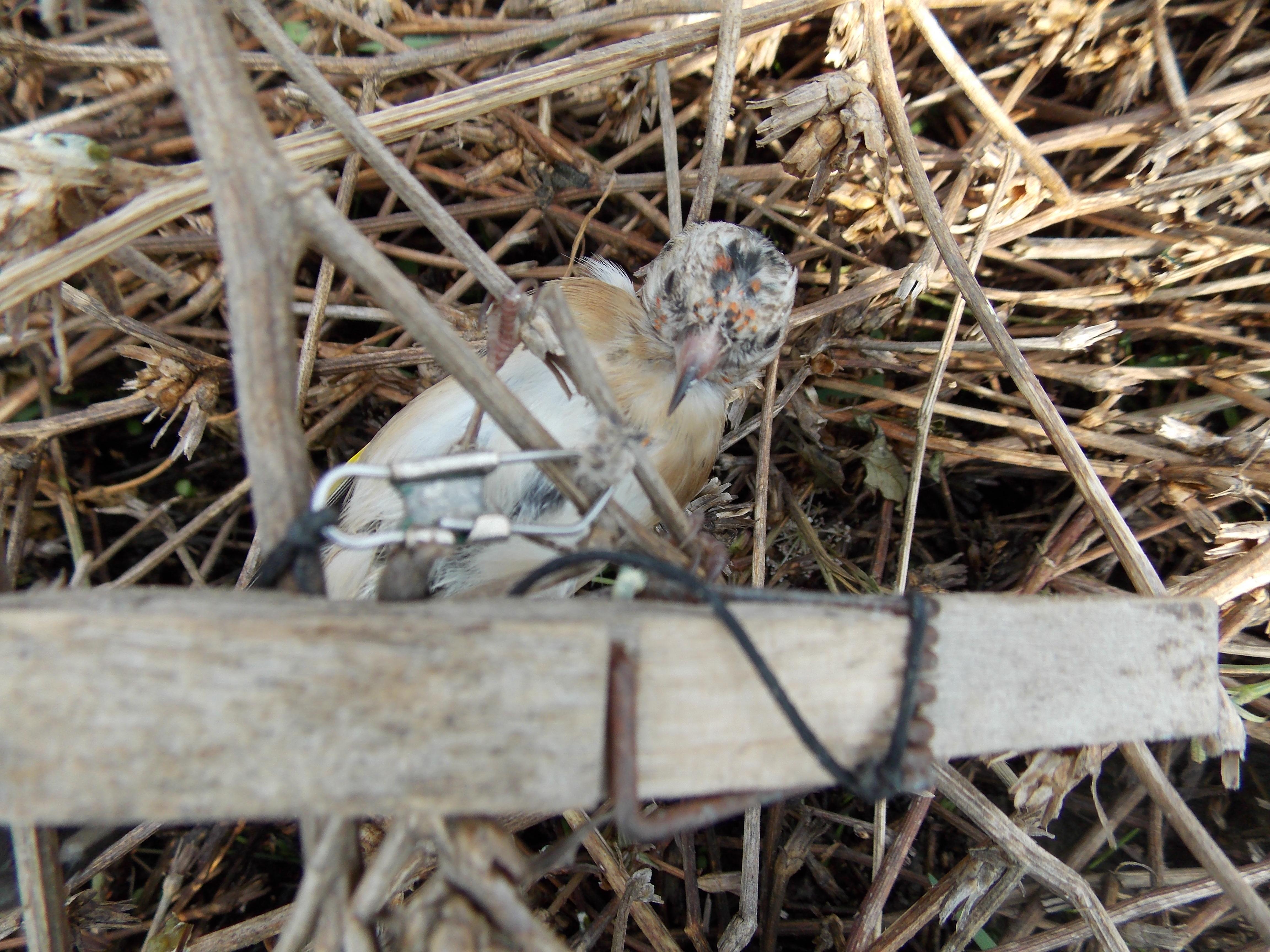 Smantellati e sequestrati, dal Corpo Forestale, attrezzature per uccellagione