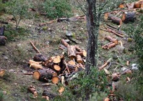 Arrestato in flagranza un uomo mentre tagliava alberi in zona protetta