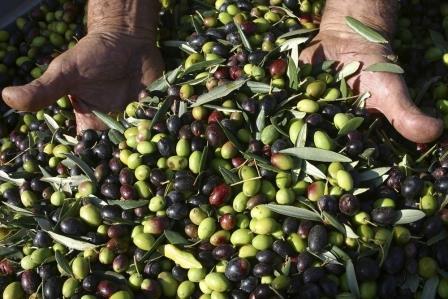 Annata di grandi soddisfazioni per il settore olivicolo sannita
