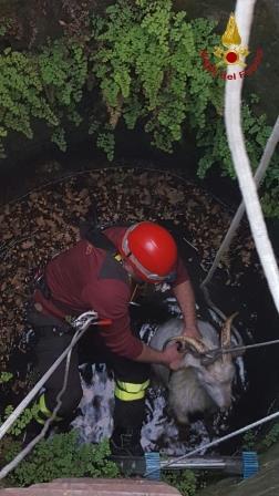 San Leucio, salvate dai Vigili del Fuoco due capre cadute in un pozzo