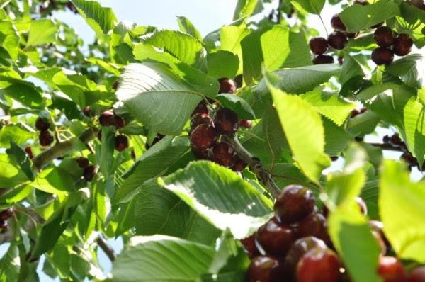 Campoli Monte Taburno, al via oggi il week end dedicato alle ciliege