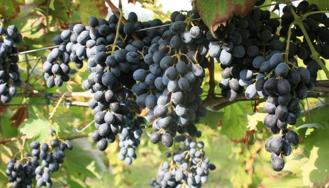 Antico vitigno di Camaiola, da domani primi appuntamenti a Castelvenere