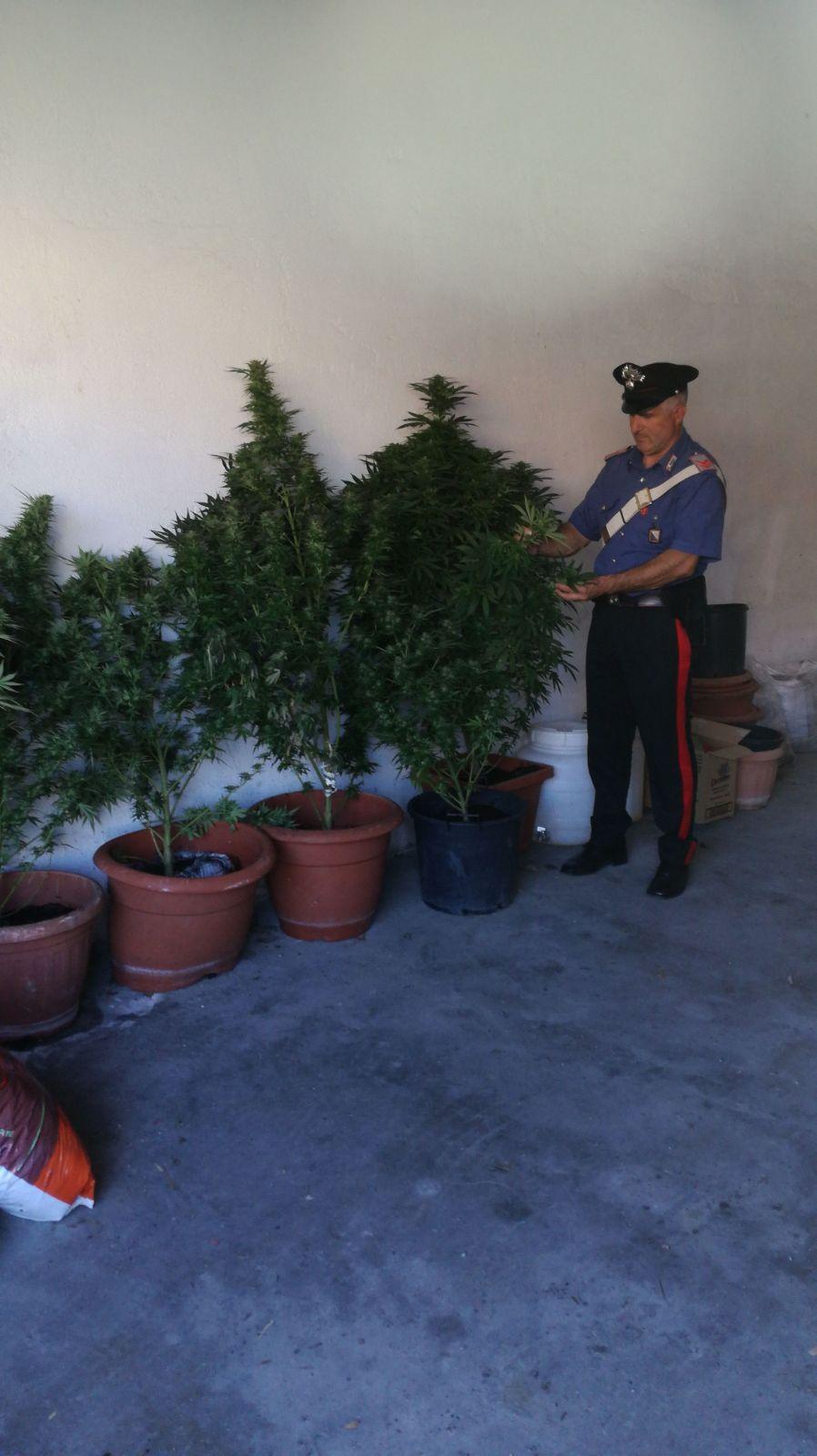 Pontelandolfo, famiglia denunciata per produzione illegale di cannabinoidi
