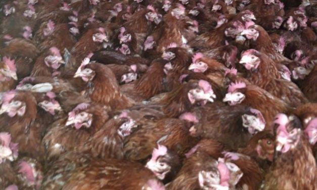 Controlli in aziende avicole nel territorio di Sant'Agata, individuato focolaio di salmonellosi