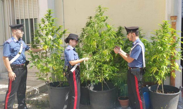 Telese, coltivatori di marijuana colti in flagrante