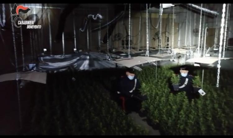 Puglianello, maxi sequestro di piante di cannabis
